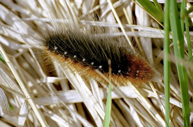 Garden Tiger Moth Caterpillar (Arctica caja)