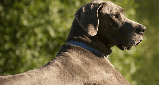 Great Danes are very sensitive animals.