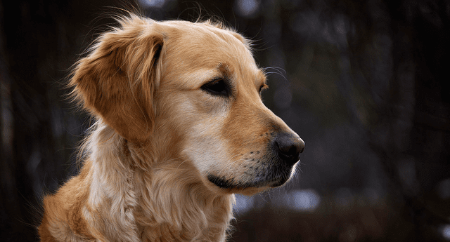 Golden retrievers are loving and trusting.