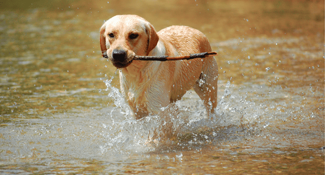 Labs are the original water dogs.