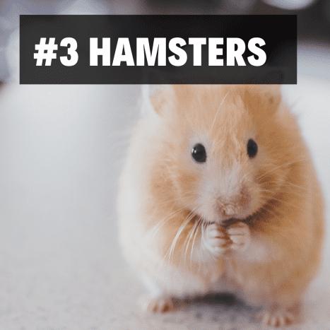 3. Hamsters