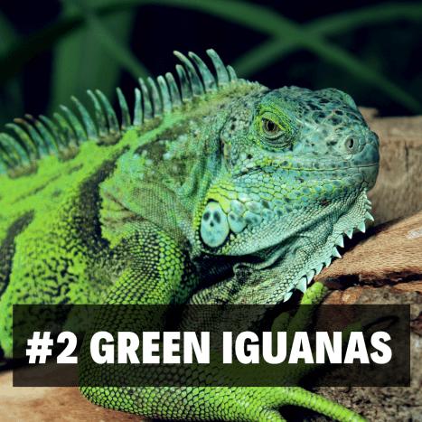 2. Green Iguanas