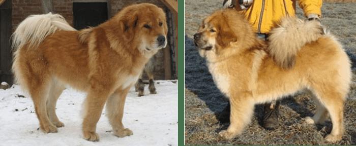Bhutia sheepdogs were bred originally to defend livestock.