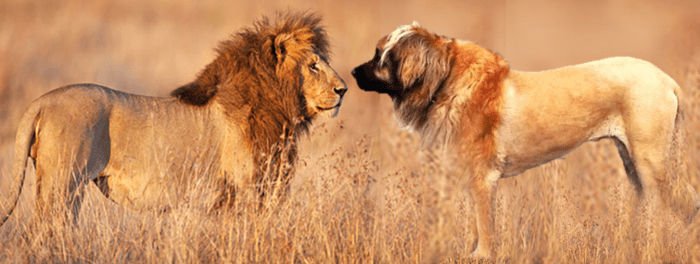 Leonberger vs. lion.