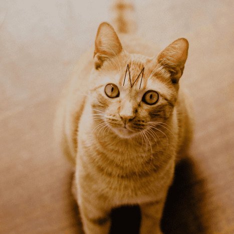 """Orange tabby (or red tabby) with the classic """"M"""" on the forehead."""