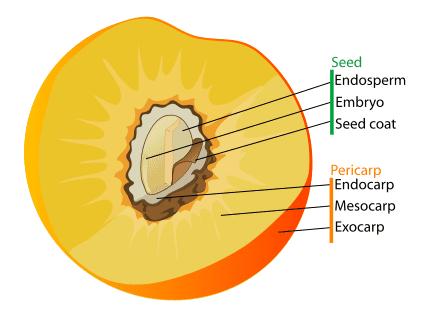 Diagram of a drupe fruit