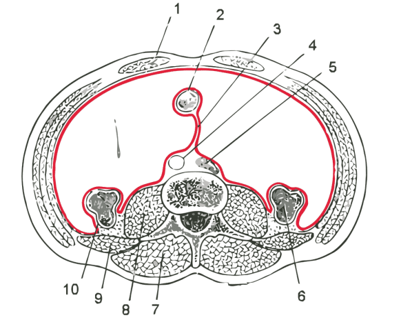 Horizontal disposition of the peritoneum in the lower part of the abdomen.  3. mesentery