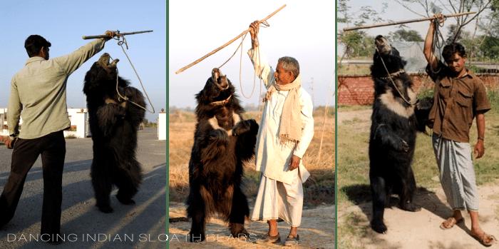 Dancing Indian Soloath Bears