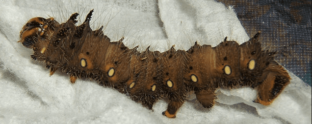 Imperial moth caterpillar, brown form