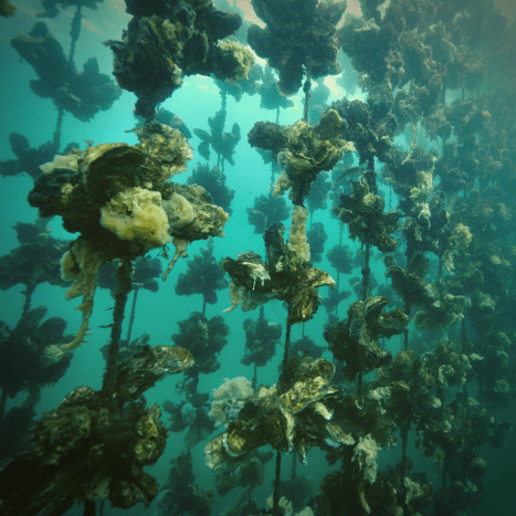 Some oysters are cultivated using ropes.