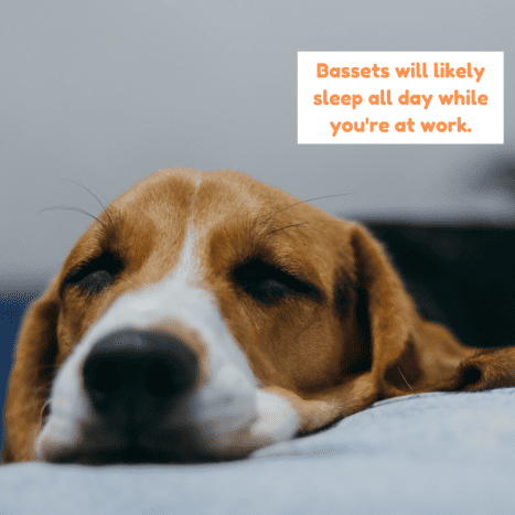 Most Basset Hounds will be perfectly happy napping in the sun until you come back home.
