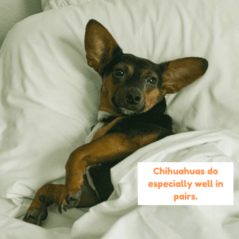 If you plan on being out of the house most of the day, consider getting a pair of Chihuahuas instead of just one.