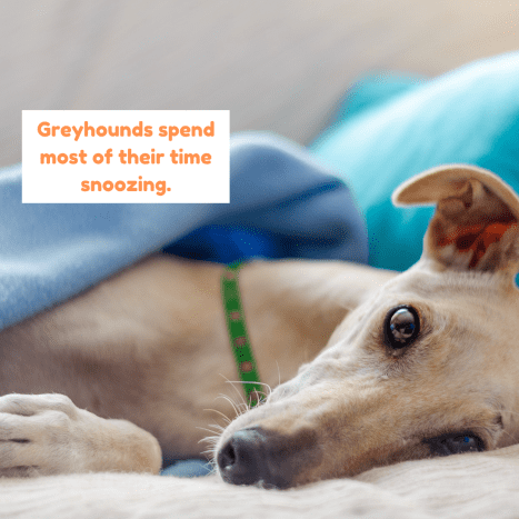 Greyhounds are pretty mellow and love nothing better than a good nap.