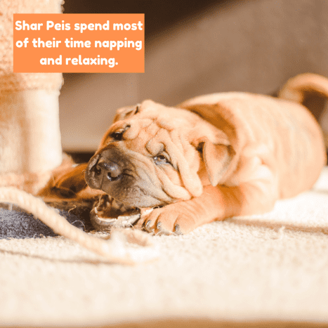 Shar Peis have short bursts of energy followed by long naps.