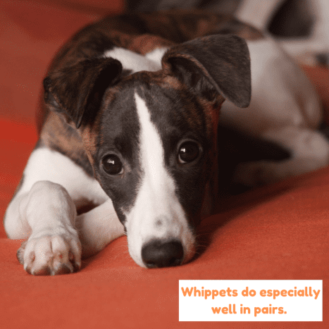 Whippets are clean and quiet dogs and sleep for much of the day.