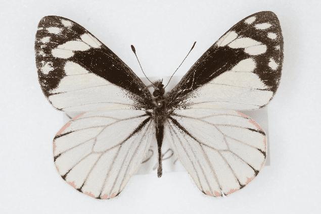Chiricahua pine white, male