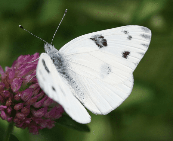 Male checkered white