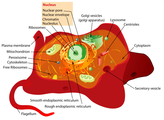 A typical Animal Cell