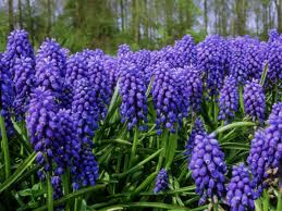 Grape muscari, one of the first colorful bursts of Spring. The bulbs must be planted the prior Fall, before the ground freezes. You need bone meal to mix with the soil to provide vitamins to store during the cold winter.