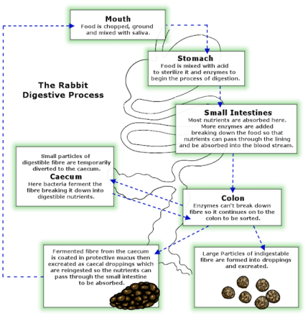 how-the-rabbit-digestive-system-works