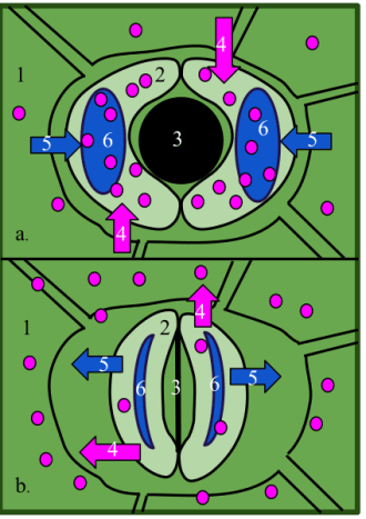 1-Epidermal cell 2-Guard cell 3-Stoma 5-Water 6-Vacuole