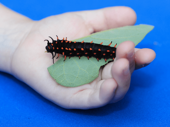 Pipevine Swallowtail Caterpillar (Battus philenor)