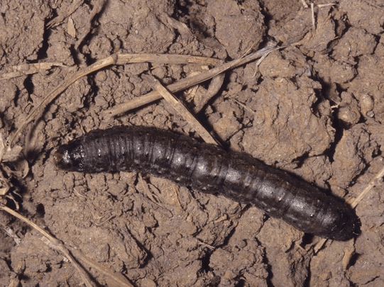 Black Cutworm Caterpillar (Agrotis ipsilon)