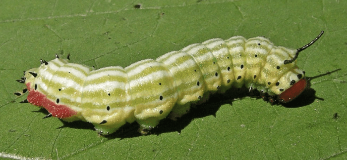 Rosy Maple Moth Caterpillar