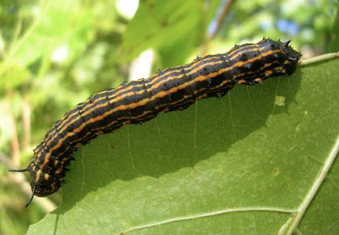 Orange-Striped Oakworm