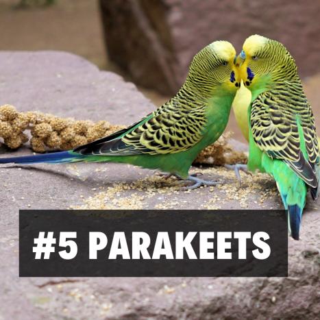 5. Parakeets