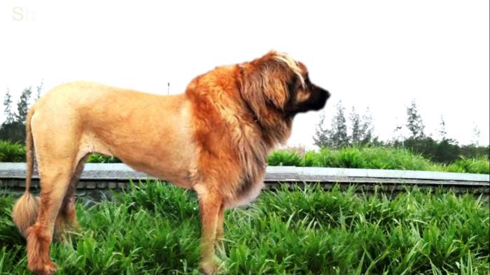 Leonberger mane.