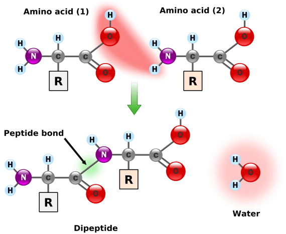 Amino acids are joined together in a condensation reaction. This releases water and forms a peptide bond between the two amino acids.