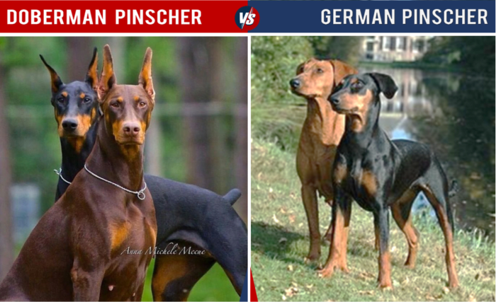 Doberman Pinscher Vs German Pinscher