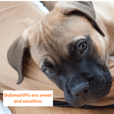 Bullmastiffs may look tough, but they are sensitive and sweet.