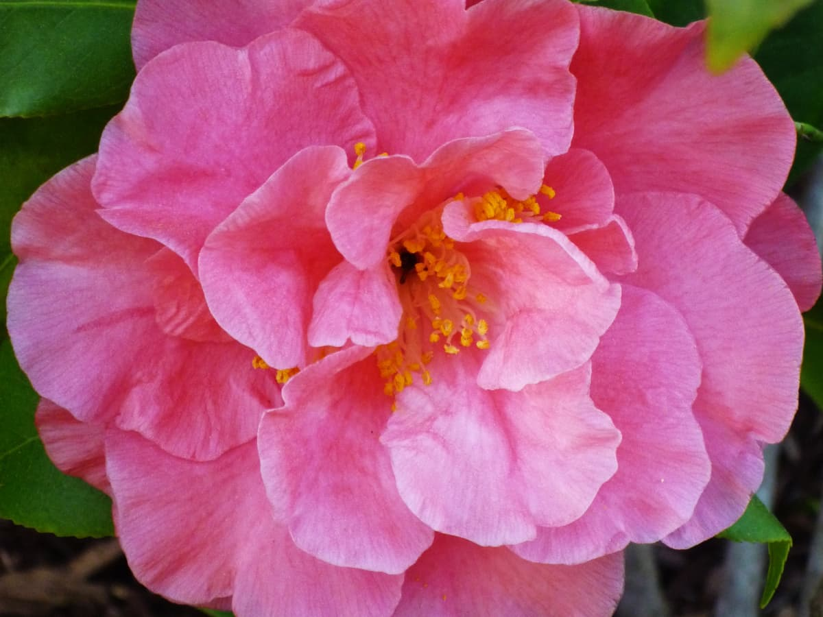 How To Grow And Care For Camellia Bushes In Outdoor Southern Landscaping Dengarden