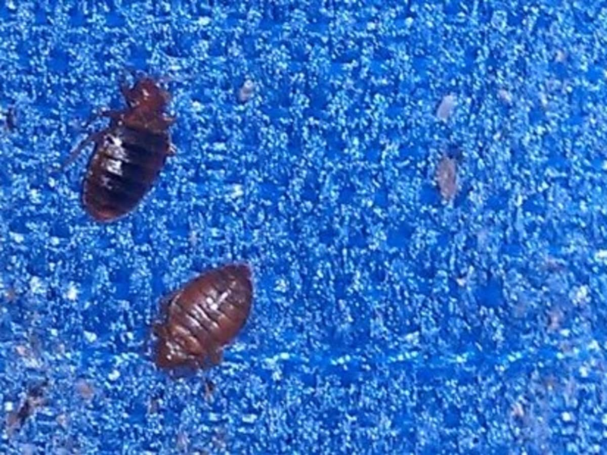 How To Identify Bedbugs And Distinguish Them From Other Pests Dengarden Home And Garden
