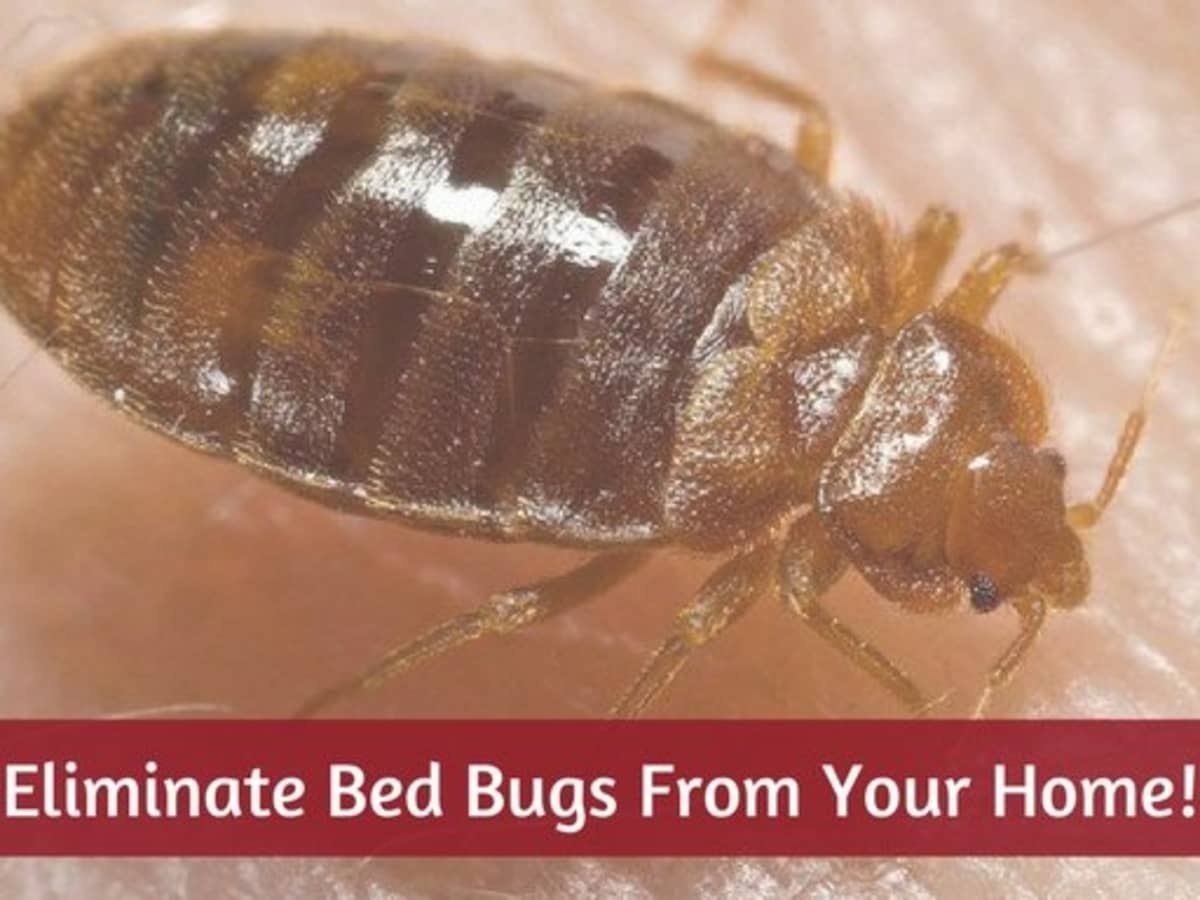 12 Easy Diy Ways To Get Rid Of Bed Bugs Quickly A Killer Guide Dengarden Home And Garden