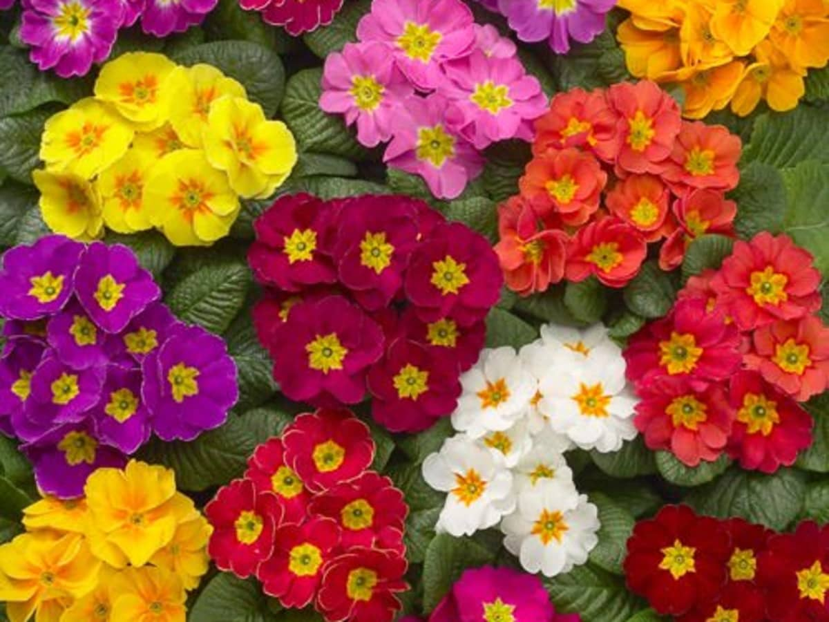 How To Plant And Care For Primroses As Annuals Or Perennials Dengarden Home And Garden