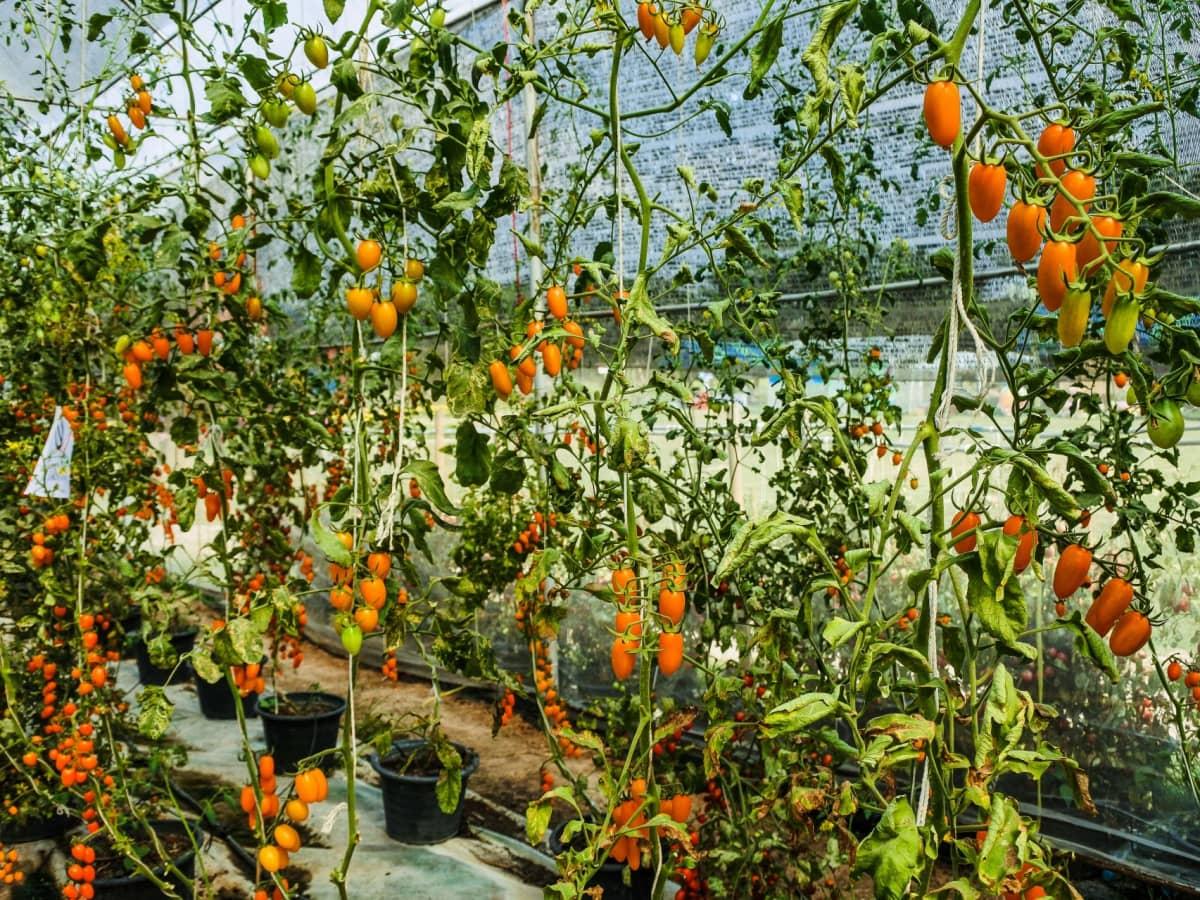 Tomatele pot crește și cu mai puțin azot!