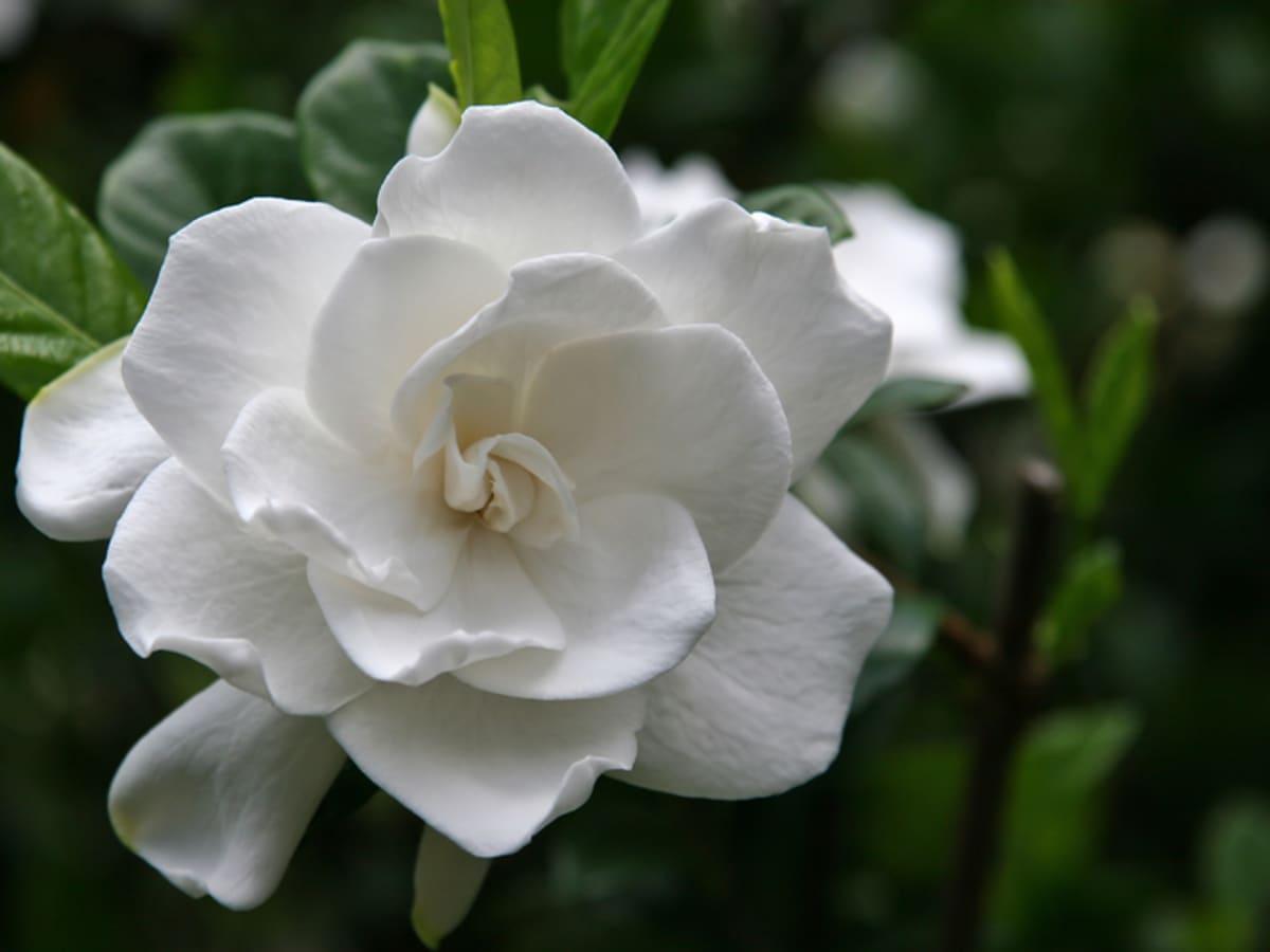 10 Major Gardenia Problems   Dengarden