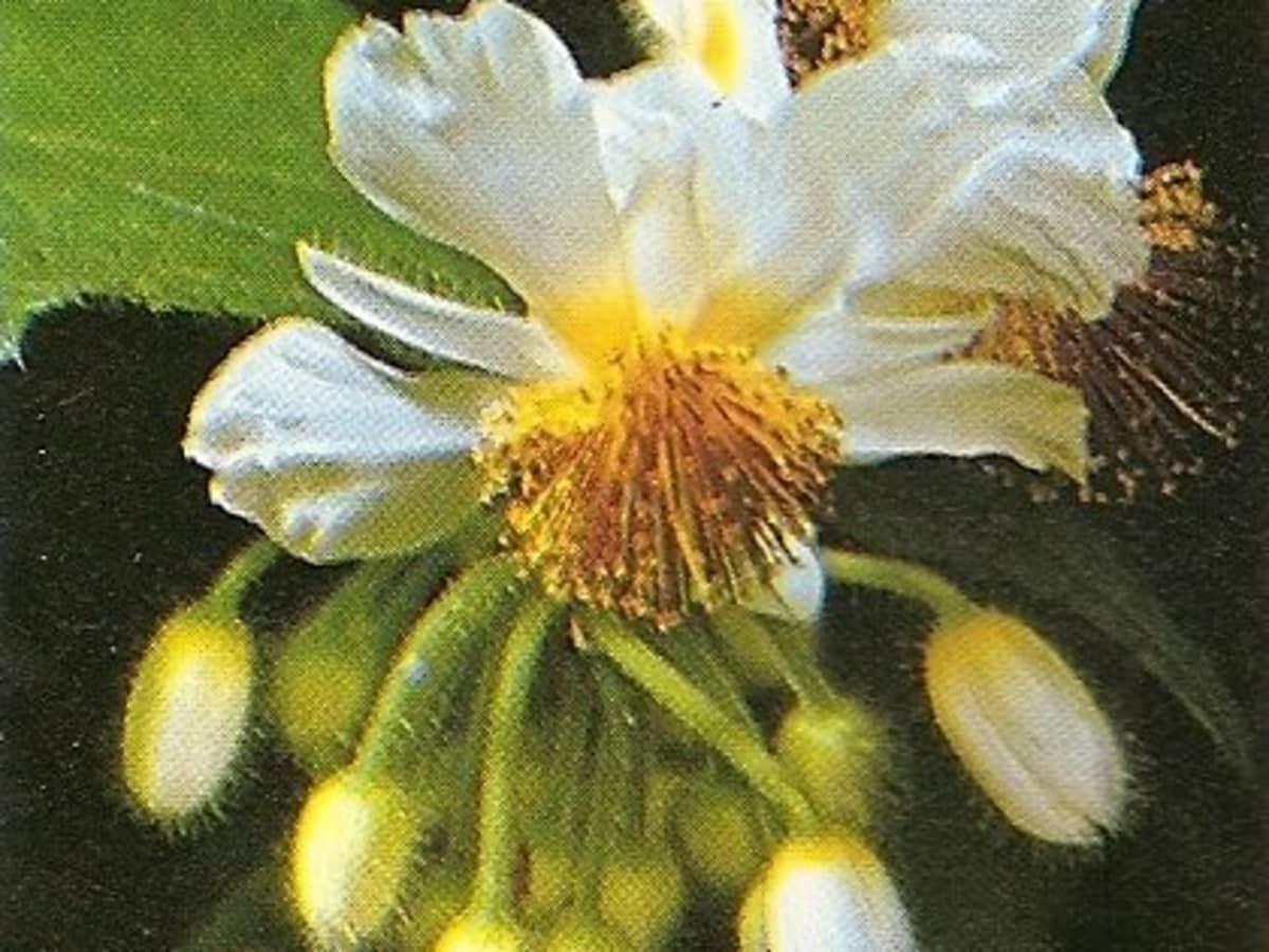 Sparmannia 5 graines Sparmannia africana