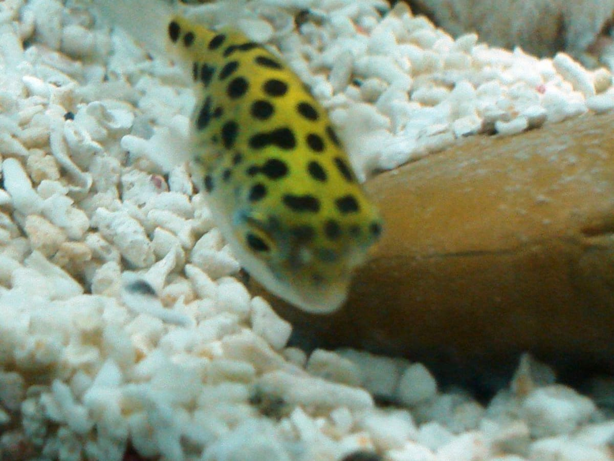 Green Spotted Puffer Fish Care Feeding And Tank Setup Pethelpful By Fellow Animal Lovers And Experts