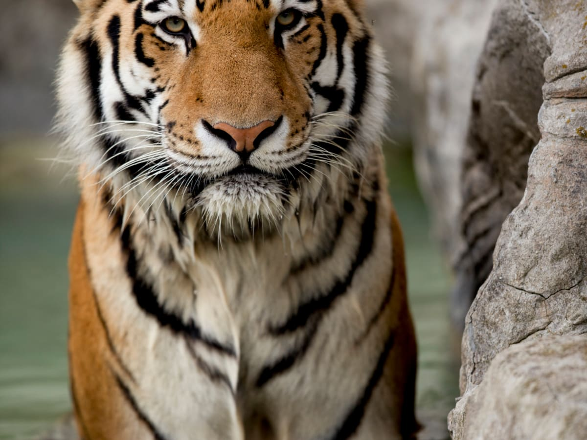 80 Tiger Names And Meanings From Bandit To Zara Pethelpful