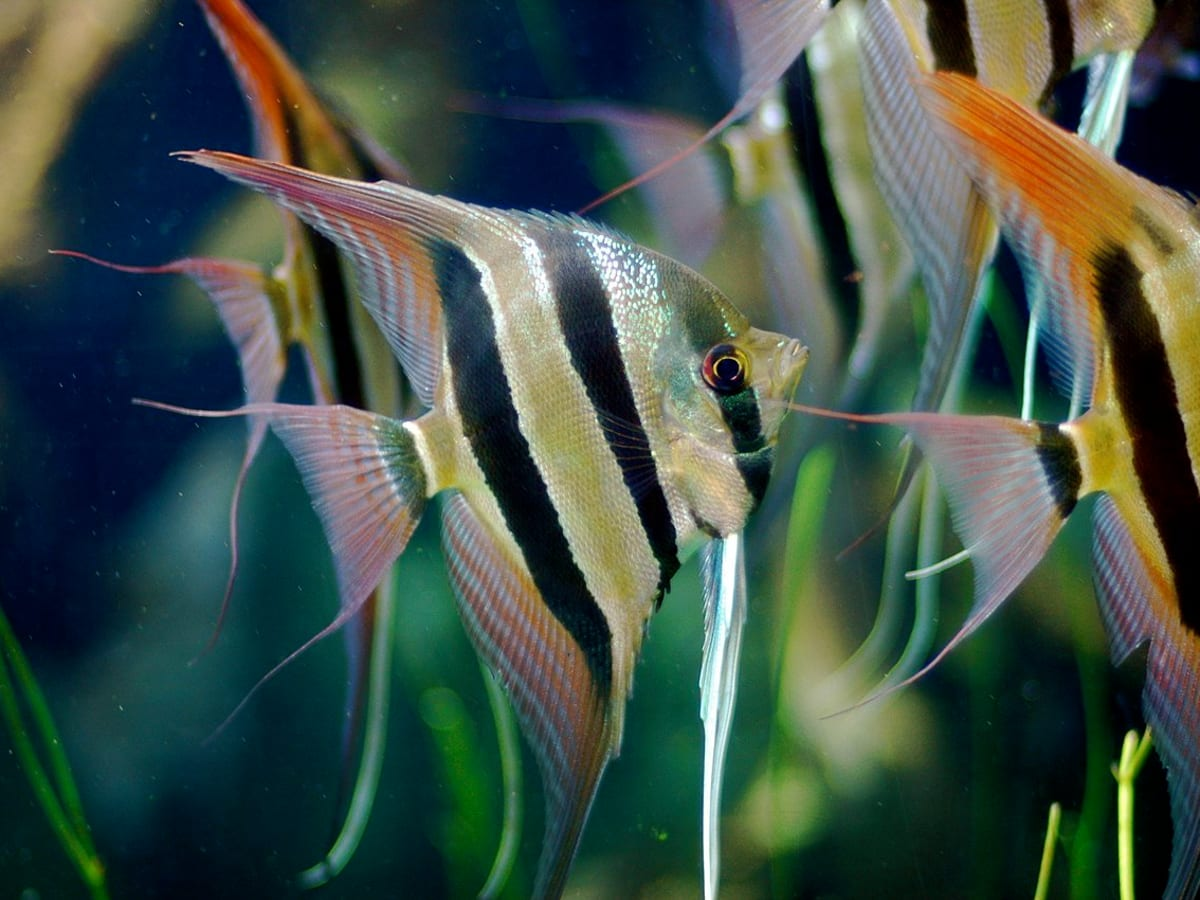 Freshwater Angelfish Care Tank Mates And Faq Pethelpful By Fellow Animal Lovers And Experts