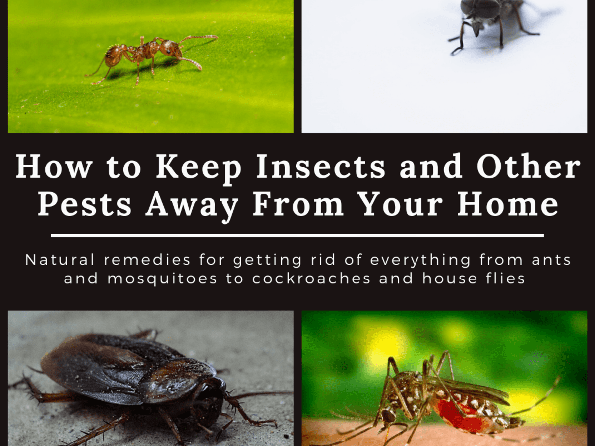 Home Remedies To Keep Cockroaches Lizards Ants Mosquitoes Bed Bugs And Flies Out Of Your House Dengarden Home And Garden