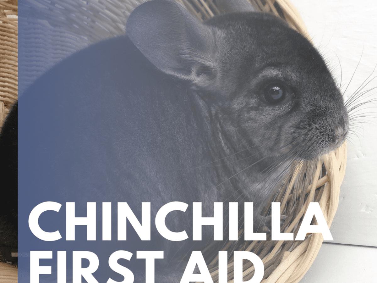 penis w chinchilla