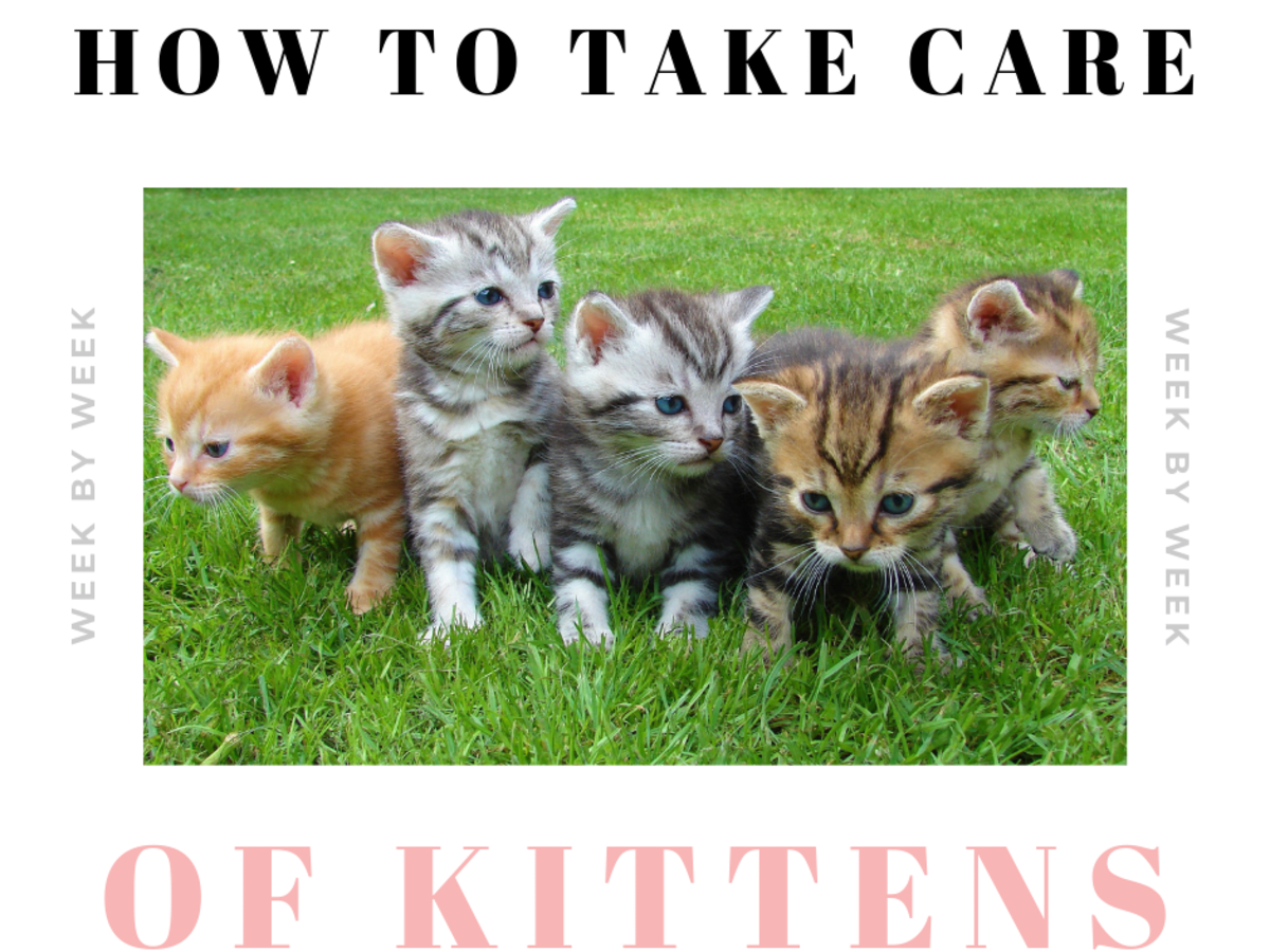 How To Take Care Of Newborn Kittens Week By Week Pethelpful By Fellow Animal Lovers And Experts