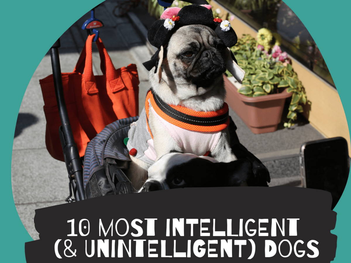 Top 10 Most Intelligent Dog Breeds Really Pethelpful