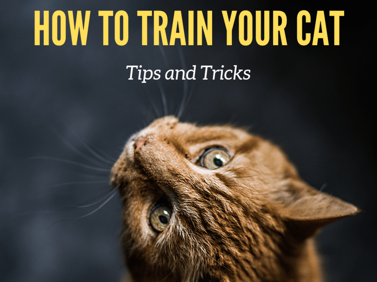 How To Train Your Cat To Do Tricks Pethelpful By Fellow Animal Lovers And Experts