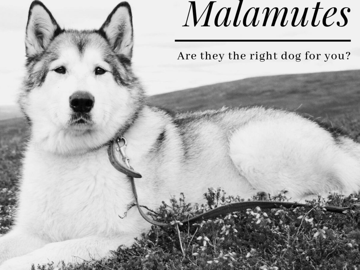 Ubxwv4ztuayy6m Life with malamutes po box 718 salford lancashire m5 0qq england feel free to contact us for any business enquiries or content. https pethelpful com dogs alaskan malamute right dog for you